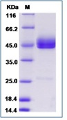 Human TNFSF18 Recombinant Protein (Fc Tag)