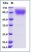 Mouse CD86 / B7-2 Recombinant Protein (Fc Tag)