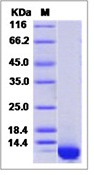Mouse CXCL2 / MIP-2 Recombinant Protein (His Tag)