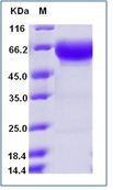 Mouse PD1 / PDCD1 / CD279 Recombinant Protein (Fc Tag)