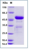 Mouse CD40 / TNFRSF5 Recombinant Protein (Fc Tag)