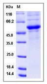 Mouse CD40L / CD154 / TNFSF5 Recombinant Protein (Fc Tag)