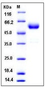 Mouse CTLA4 / CD152 Recombinant Protein (Fc Tag)