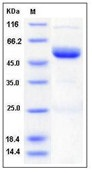 Mouse Ephrin-A4 / EFNA4 Recombinant Protein (Fc Tag)