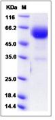 Mouse BTLA Recombinant Protein (Fc Tag)