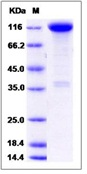 Mouse TrkA / NTRK1 Recombinant Protein (Fc Tag)