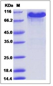 Mouse EphA3 Recombinant Protein (Fc Tag)