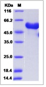 Mouse Ephrin B3 / EFNB3 Recombinant Protein (ECD, Fc Tag)