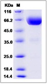 Mouse TIM3 / HAVCR2 Recombinant Protein (Fc Tag)
