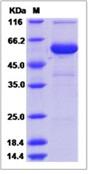 Mouse CRISP-1 / CRISP1 Recombinant Protein (Fc Tag)