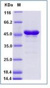 Zika virus (ZIKV) (strain Zika SPH2015) E / Envelope Recombinant Protein (aa 291-696, His Tag)