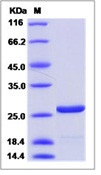 HIV-1 p24 Recombinant Protein (group N, strain 06CM-U14296) (His Tag)