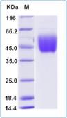 Human IL10RA Protein (His Tag)