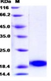 PLA2G1B Recombinant Protein (C-term, His Tag)