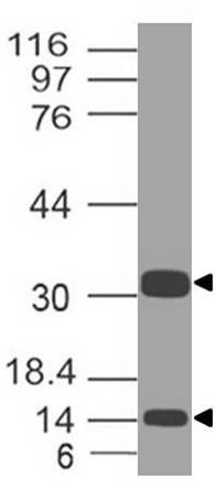 Polyclonal antibody to Caspase-3 (Pro and Active)