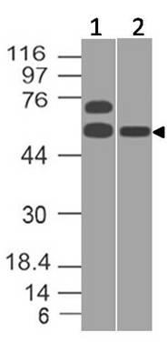 Polyclonal antibody to Caspase-9