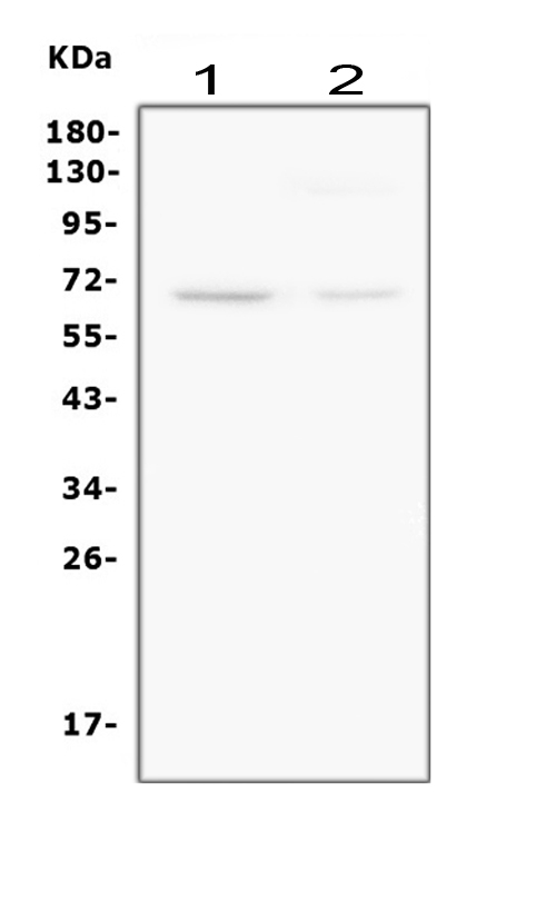Monoclonal Antibody to Anti-Smad4(DPC4) Antibody(Clone: DCS-46)
