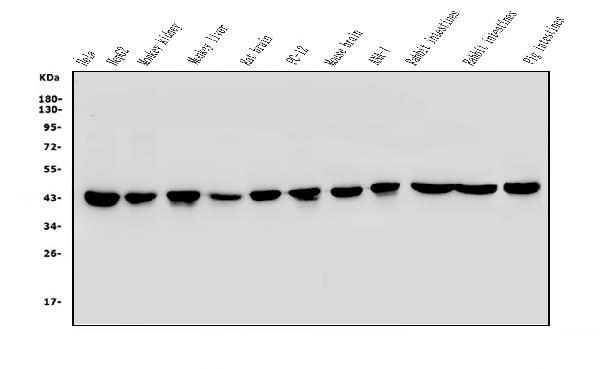 Anti-beta-Actin Monoclonal Antibody (Clone: AC-15)