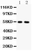 Anti-Alkaline Phosphatase Polyclonal Antibody