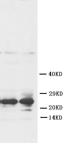 Polyclonal Antibody to Anti-FGF8 Antibody