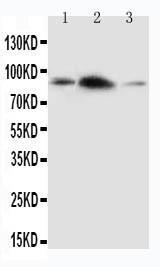 Polyclonal Antibody to Anti-APLP2 Antibody