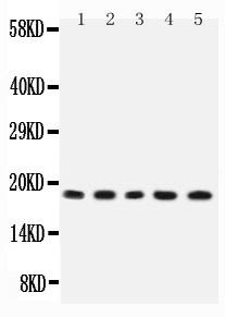 Polyclonal Antibody to Anti-IL2 Antibody