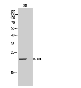 Polyclonal Antibody to Ox40L(Discontinued)