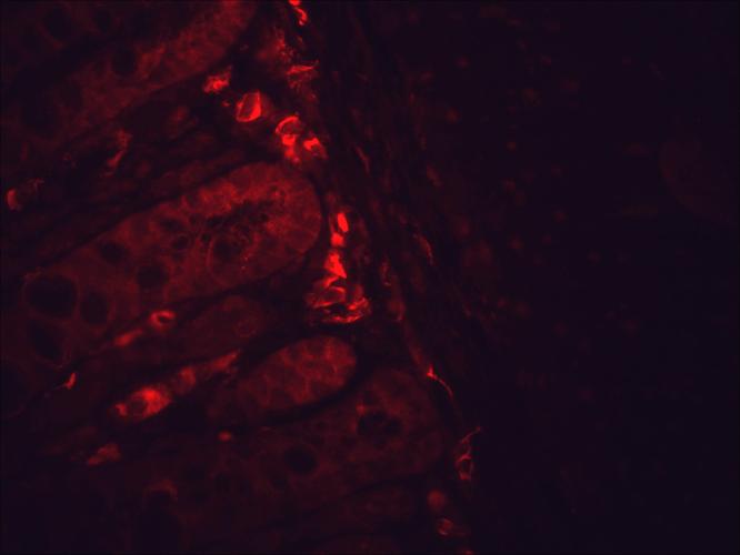 Anti-HSP90 Monoclonal Antibody (Clone : H9010) - ATTO 594