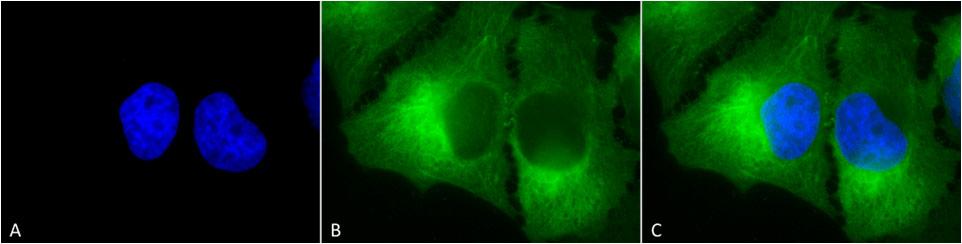 Anti-Hsp90 complex Monoclonal Antibody (Clone : 8D3) - ATTO 390