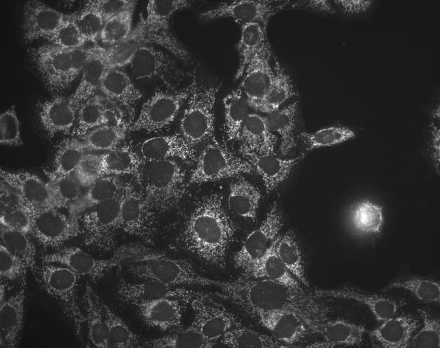 Anti-HSP60 Monoclonal Antibody (Clone : LK1) - ATTO 655
