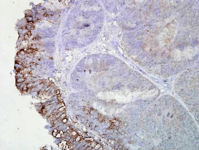 Anti-HSP90 Monoclonal Antibody (Clone : AC-16) - ATTO 488