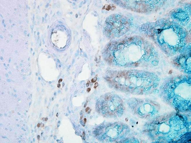 Anti-HSP90 beta Monoclonal Antibody (Clone : Hyb-K3701) - ATTO 700