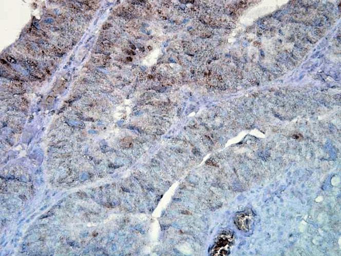 Anti-HSP90 Monoclonal Antibody (Clone : D7A) - ATTO 594