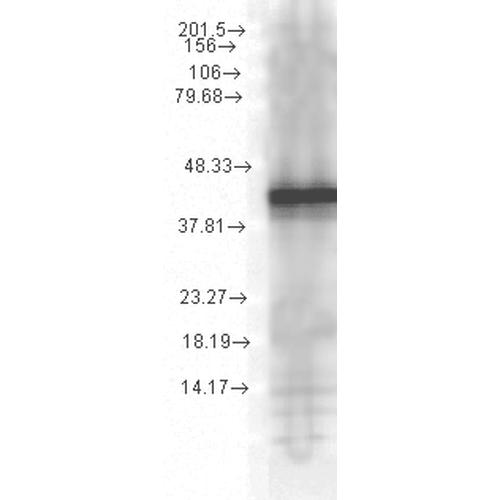 Anti-HSP40, YDJ1 Monoclonal Antibody (Clone : 1G10.H8) - ATTO 594