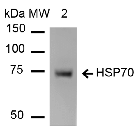 Anti-HSP70 Monoclonal Antibody (Clone : 1H11) - ATTO 565(Discontinued)