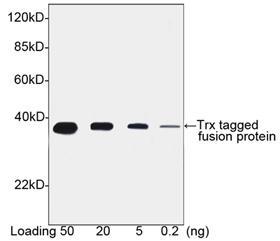 Goat Polyclonal Antibody to Trx-tag