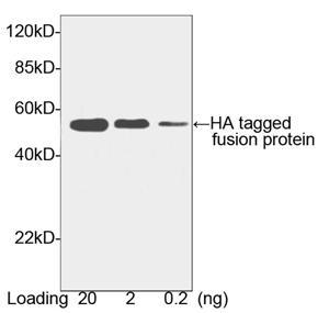 HRP conjugated Goat Polyclonal Antibody to HA-tag