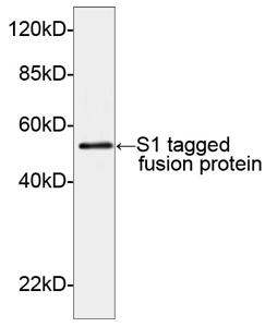 Rabbit Polyclonal Antibody to S1-tag