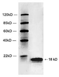 Rabbit Polyclonal Antibody to Histone 2B