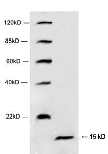 Rabbit Polyclonal Antibody to Histone H4