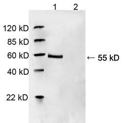 Rabbit Polyclonal Antibody to HDAC2