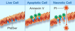 Apoptosis Detection kits