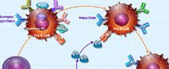 B-Cell Development