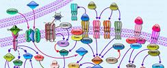 Cellular Apoptosis Pathway