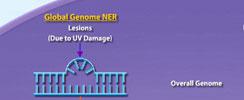 Nucleotide Excision Repair Pathway