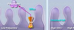 Polyamine Regulation in Colon Cancer