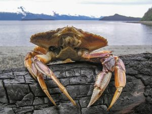 crab sitting against a log with water behind it
