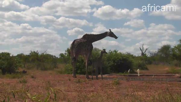 Africam Photo Giraffe Mom And Baby