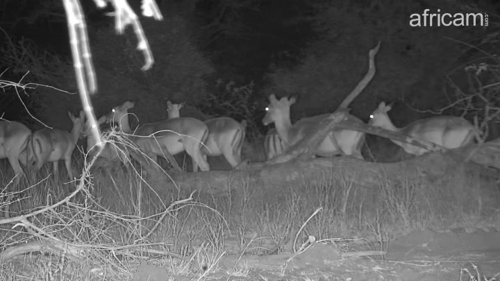 Africam - PHOTO: Impalas looking for something