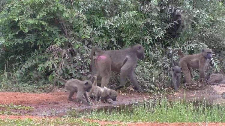 Baboons at Cat Eye
